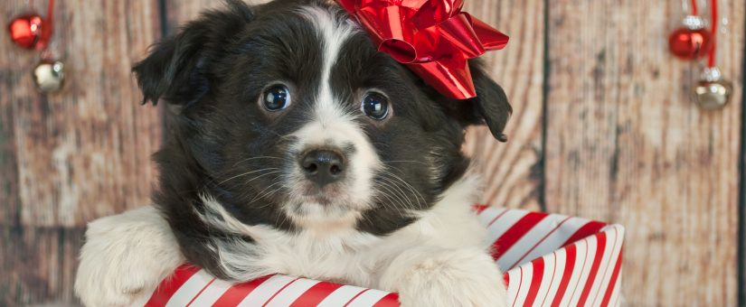 Consider responsible alternatives to gifting a Pet for the Holidays?